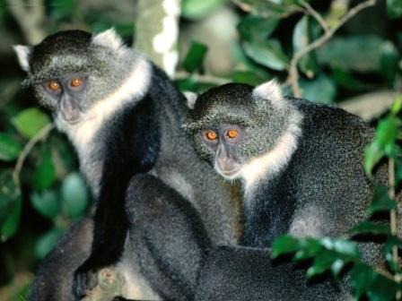 monos azules en la selva