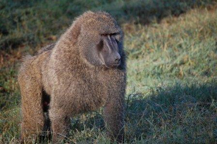 babuino