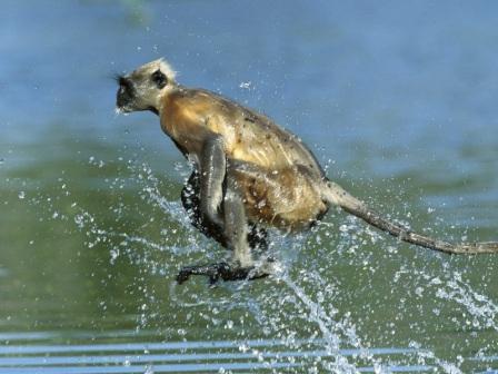 mono en el agua