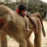 madre y cria babuinos