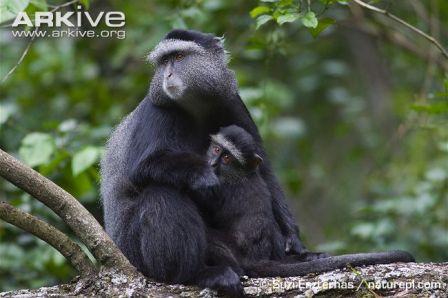 cria del mono azul