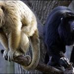 dos monos aulladores