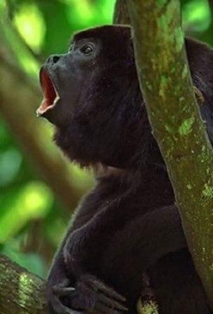 mono auyador