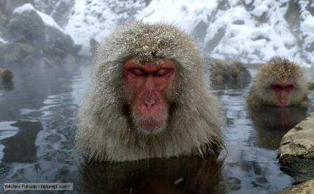 macaco japones en el agua termal
