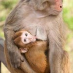 macaco rhesus y su cria
