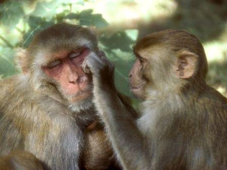macacos  rhesus