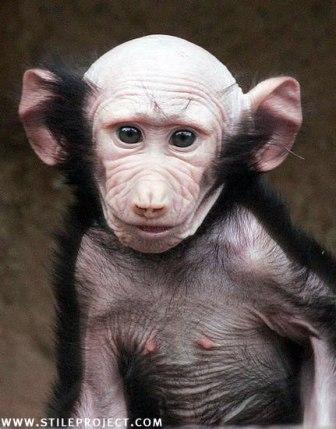 mono feo orejon