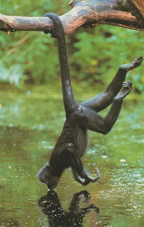 mono araña tomando agua