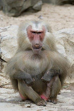 macaco feo