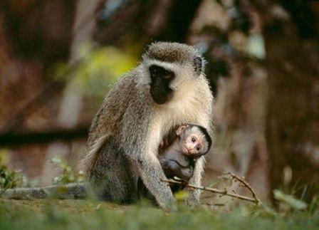 mono vervet y su cria